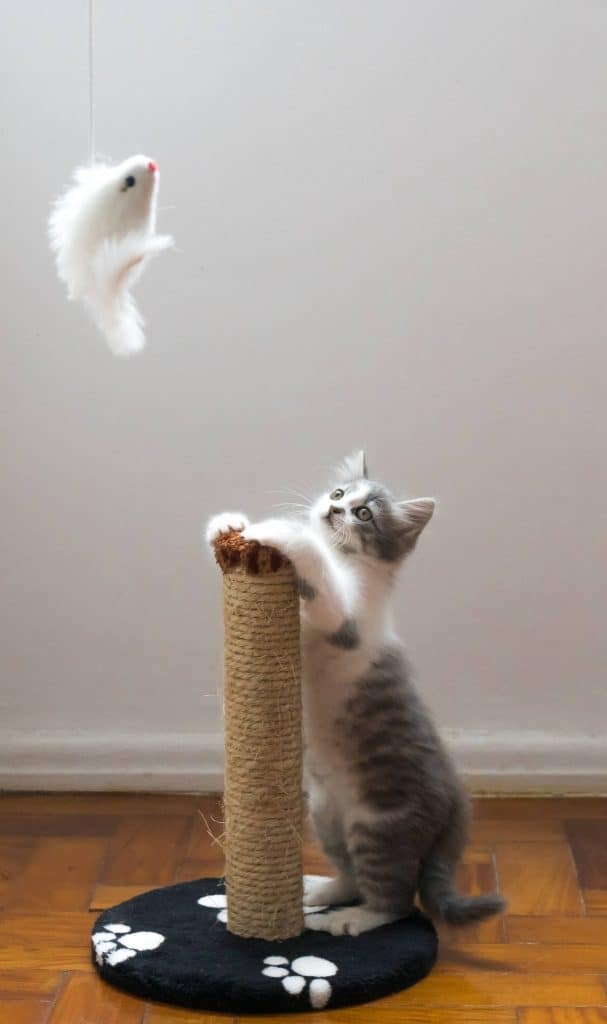 Cat looking at a hanging toy