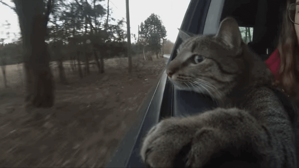 "Cat in a car. Motion sickness might result in a ""sticking tongue out"" behavior."