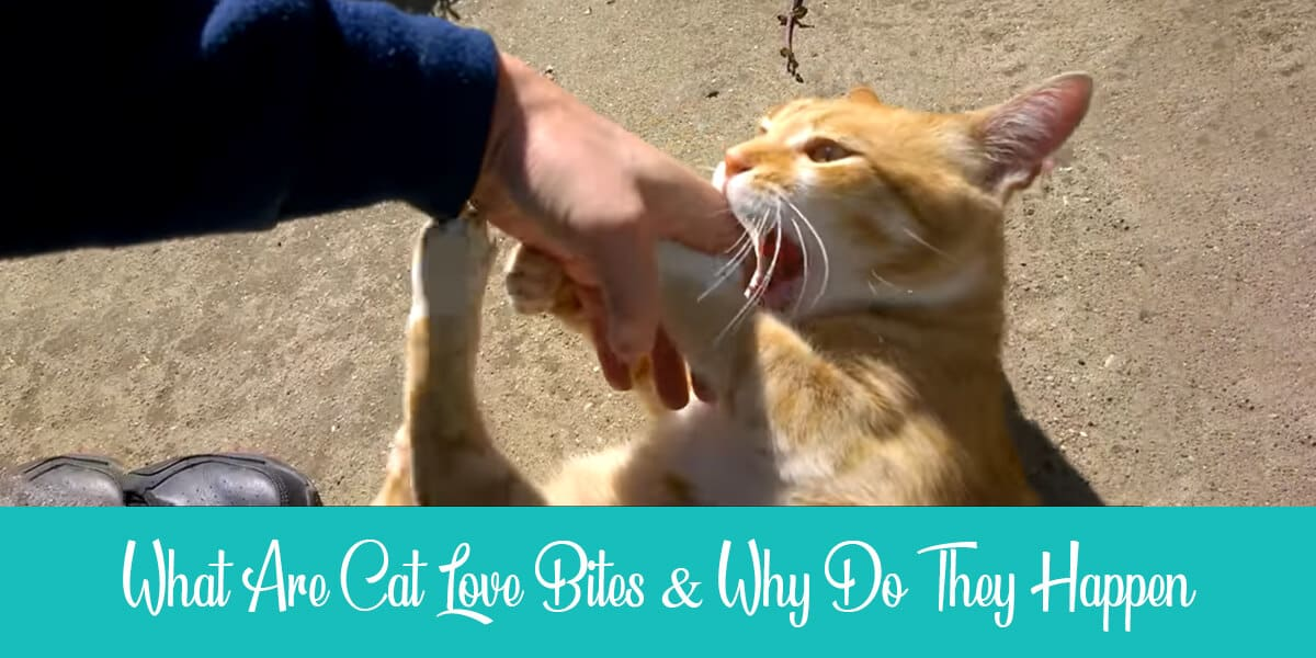 What are cat love bites and why do they happen