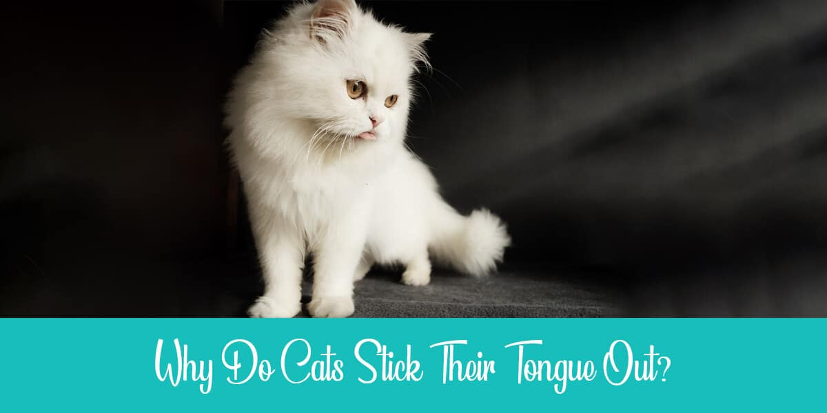 Why do cats stick their tongue out?