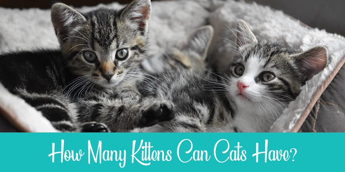 How many kittens do cats have