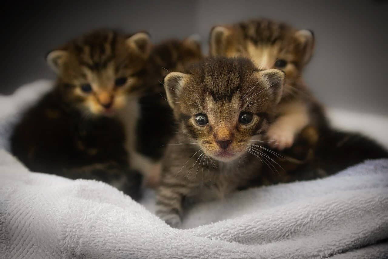 A cat litter consisting of 4 kittens