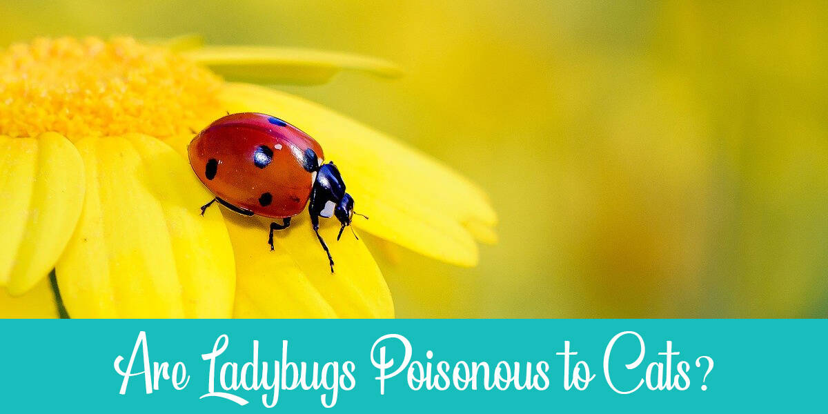 Are Ladybugs Poisonous to Cats? And What Attracts Them?
