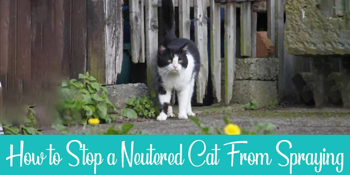 How to Stop a Neutered Cat From Spraying