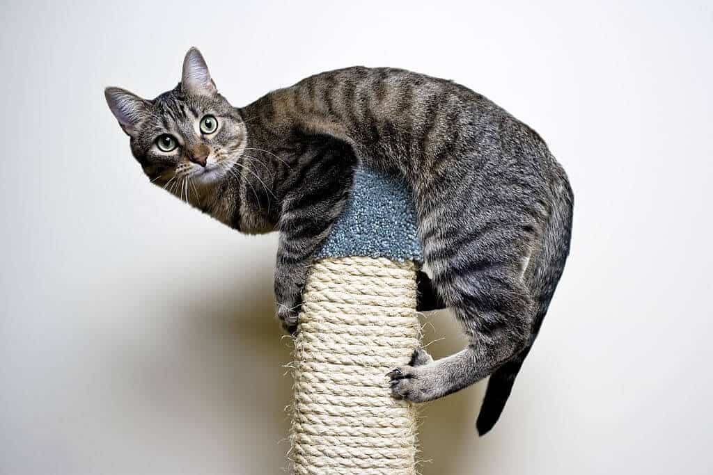 Cat on top of a scratching post
