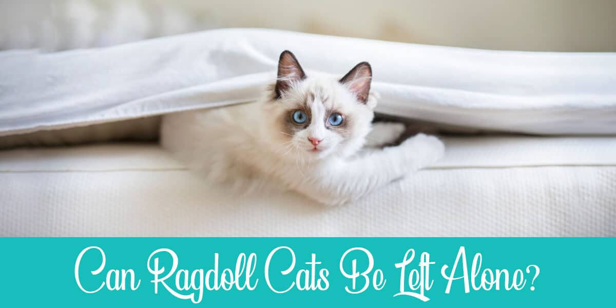 Can Ragdoll Cats Be Left Alone