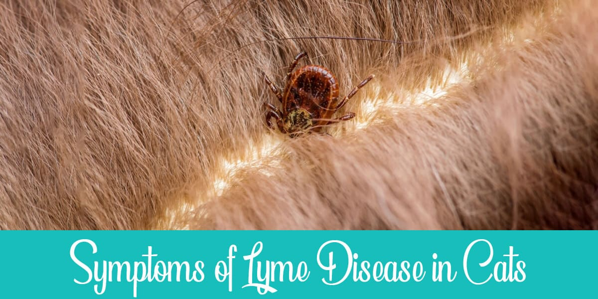 Symptoms of Lyme Disease in Cats