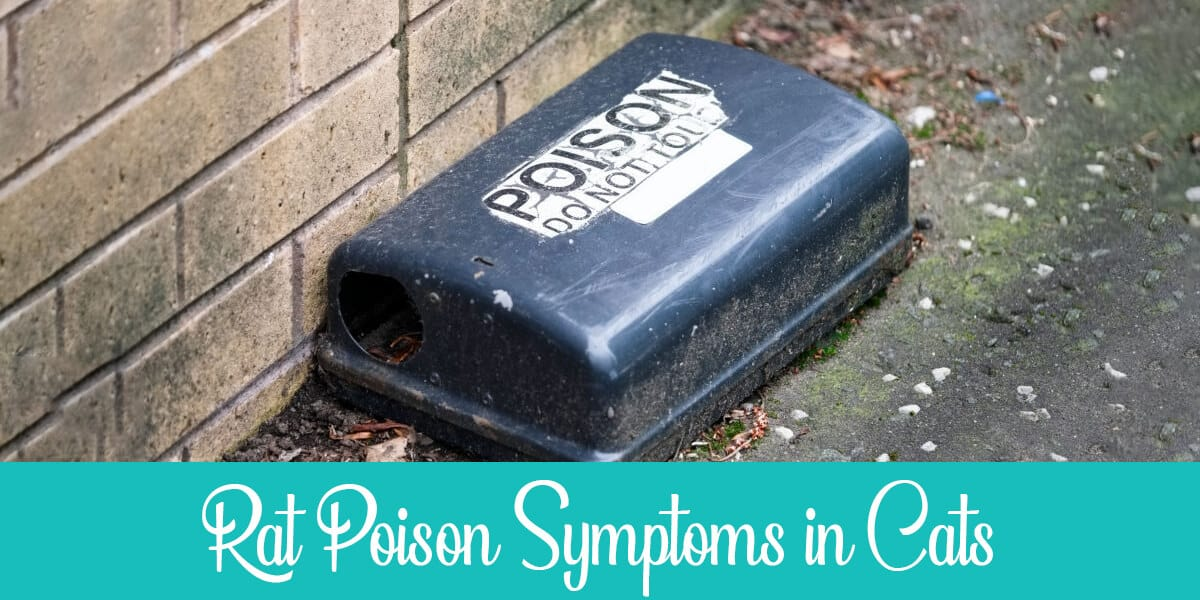 Symptoms of Rat Poisoning in Cats