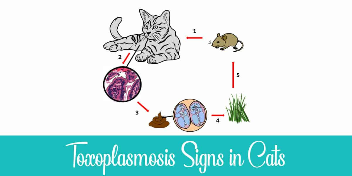 Symptoms of Toxoplasmosis in Cats